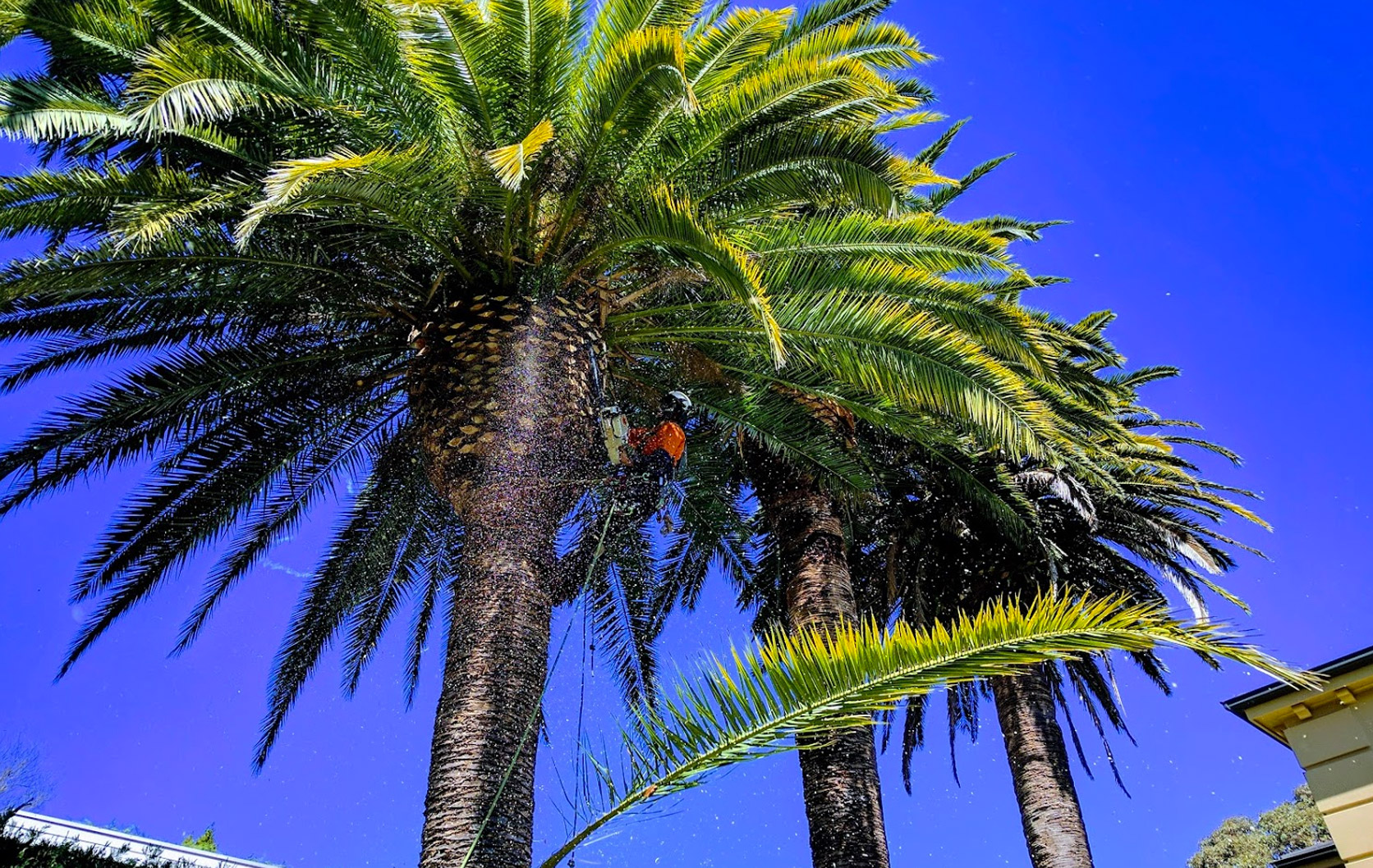 Palm Tree Pruning Sydney